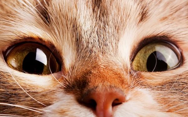 Глисты на глазах у кошки